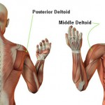deltoid muscle brace