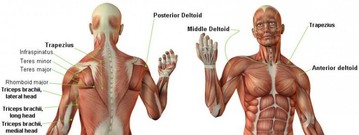 Five Shockingly Effective Deltoid Muscle Workouts