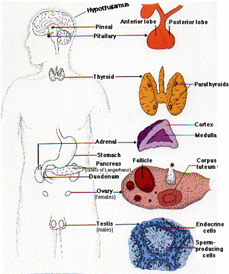 Endocrine system activities modernheal endocrine system activities ccuart Gallery