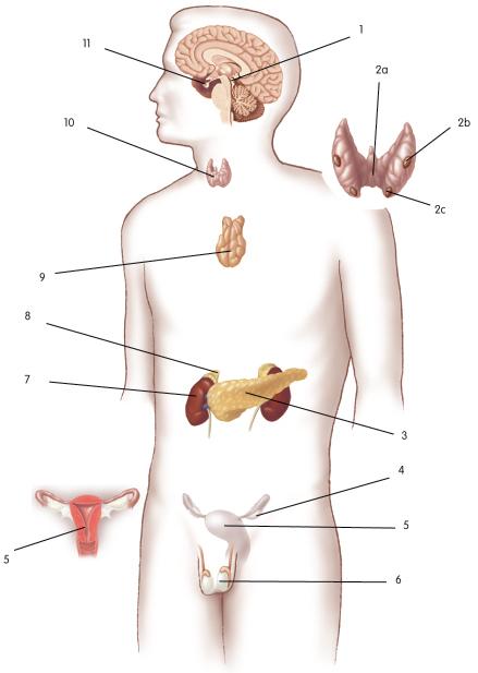 Unlabeled diagram of endocrine system auto electrical wiring diagram endocrine system diagram unlabeled wire data u2022 rh metroagua co male reproductive system diagram unlabeled best ccuart Images