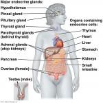 endocrine system body