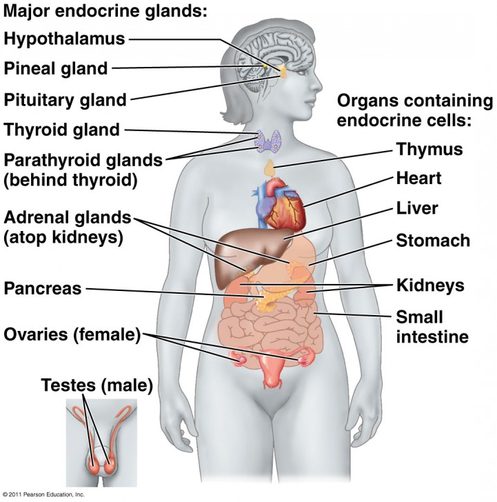 Endocrine System And Why It Matters