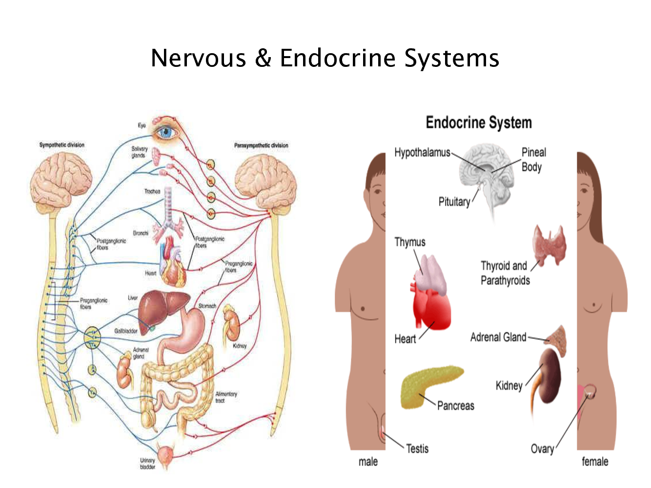 Diagram Of The Endocrine System For Kids Diy Enthusiasts Wiring