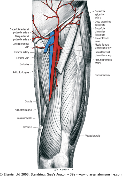 Images Of Femoral Artery Spacehero