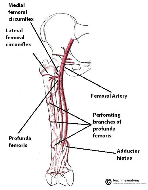 Femoral Artery Diagram