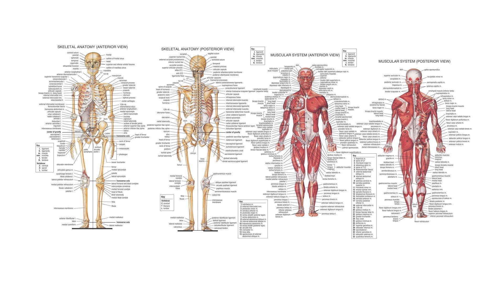human anatomy back view organs - ModernHeal.com
