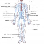 human body systems circulatory system