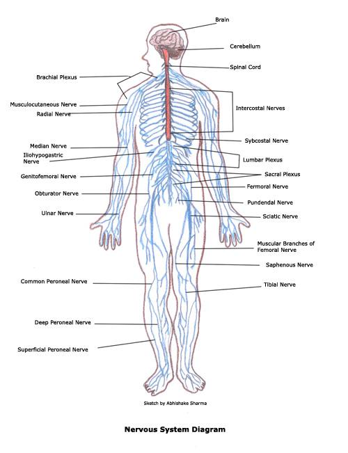 human body systems circulatory system