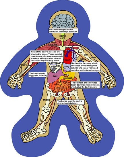 Human Body Systems For Kids Modernheal