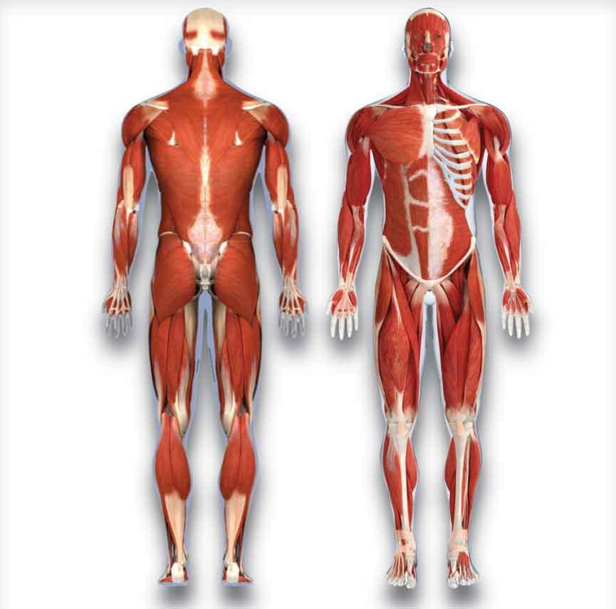 Muscular System Abdominals Modernheal Com