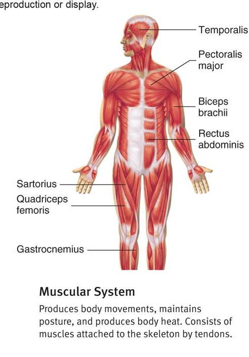 muscular system diagram worksheet