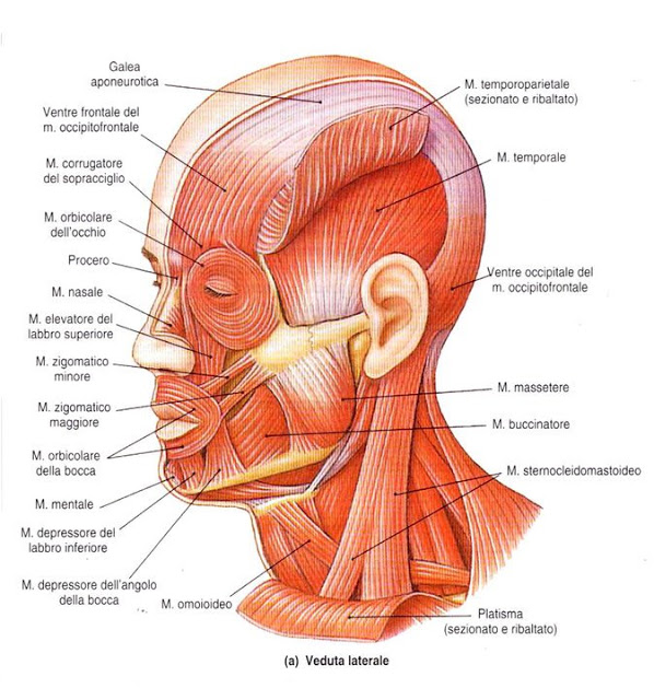 Neck Muscles Anatomy Ct Modernheal