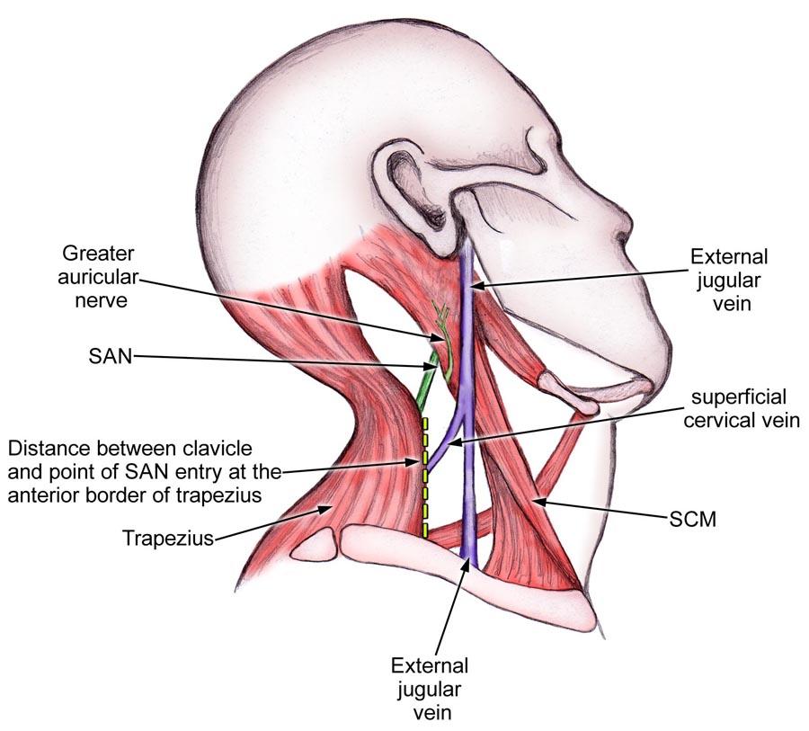neck muscles and veins - ModernHeal.com