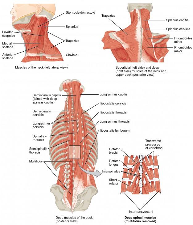 neck muscles bodybuilding