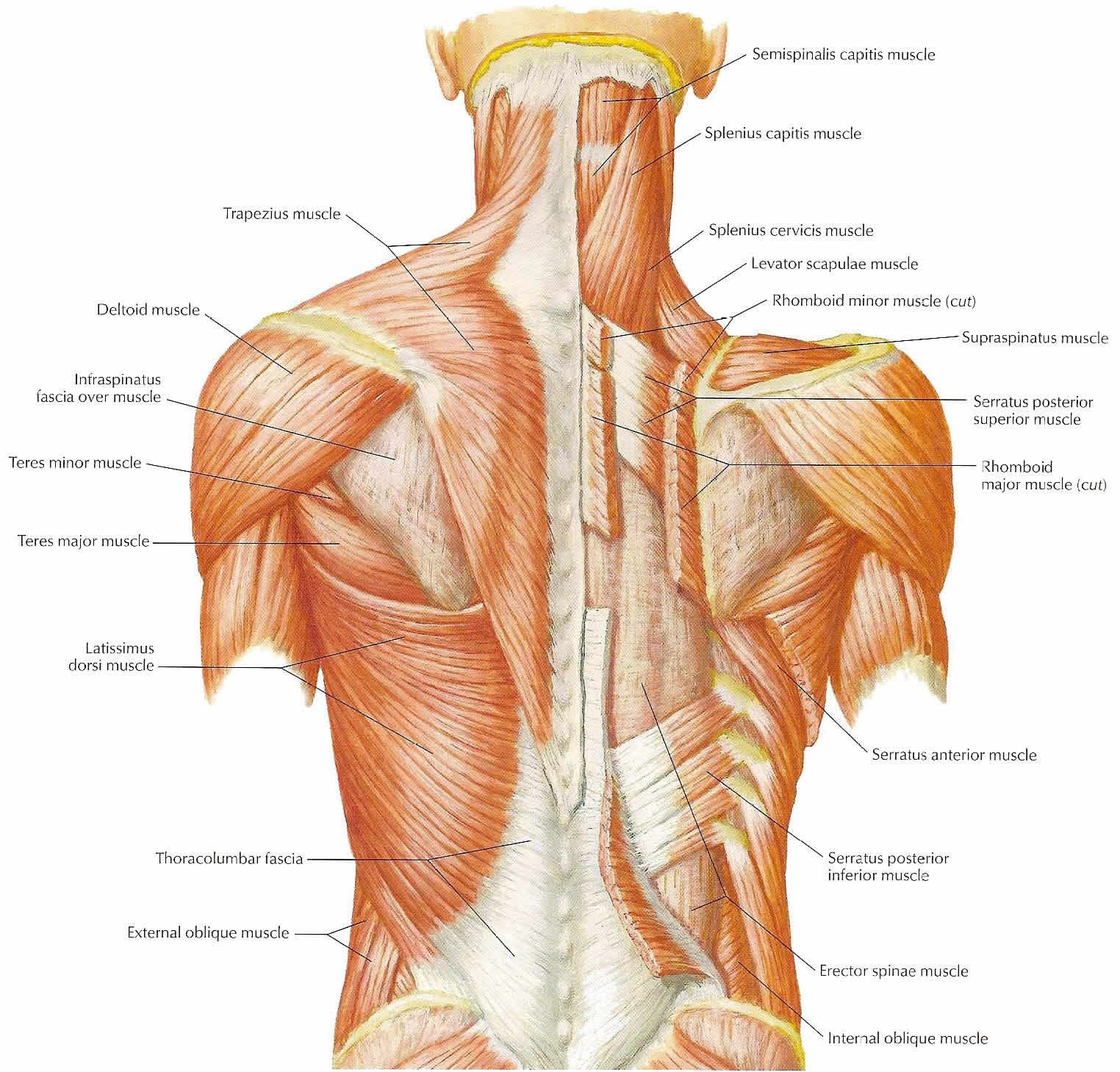 Upper Neck Muscle Diagram Online Schematic Diagram
