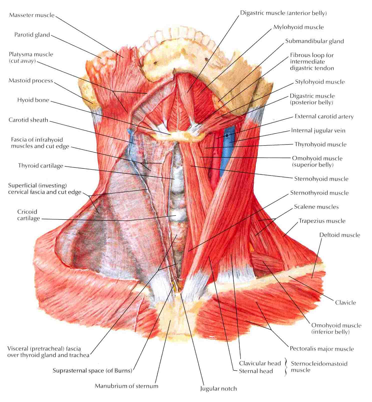 neck muscles exercises - ModernHeal.com