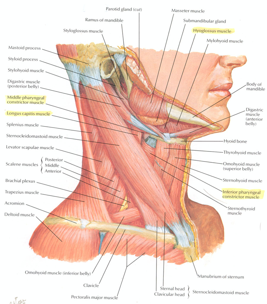 Neck Muscles Posterior Modernheal