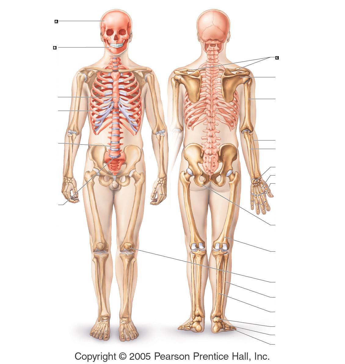 skeletal system acrostic poem - ModernHeal.com