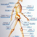 skeletal system diagram for kids