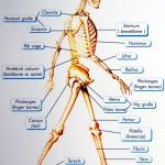 skeletal system diagram for kids