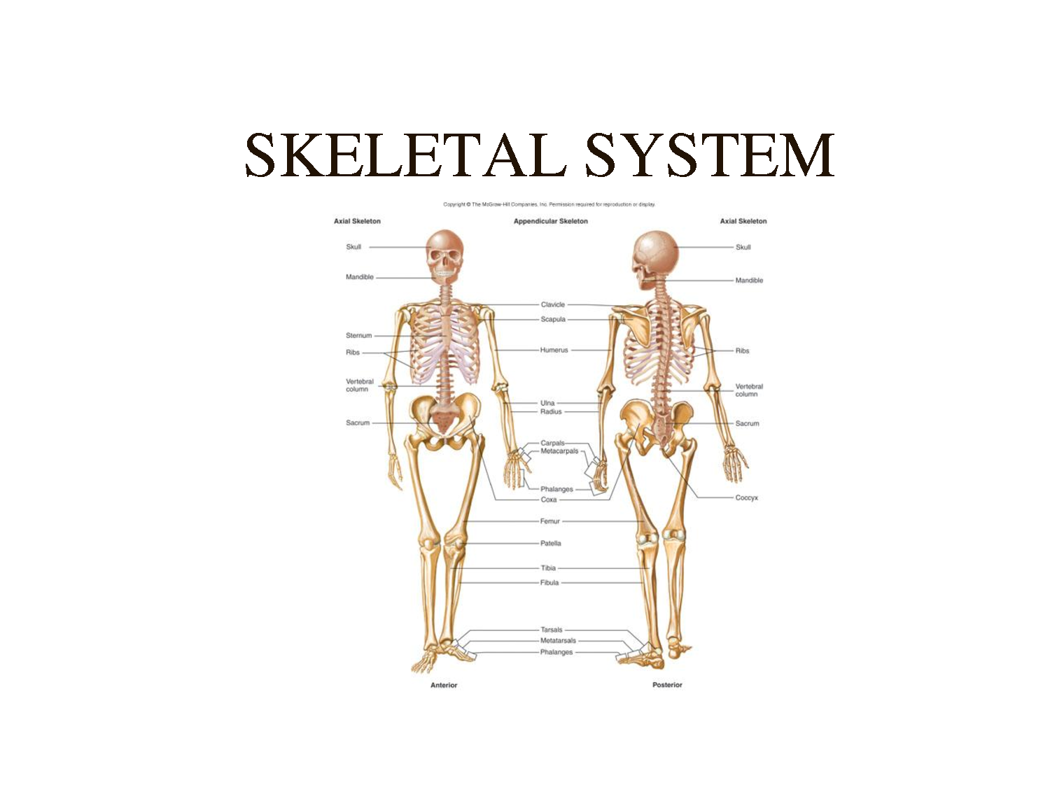 Functions Of Skeletal System Diagram - Block And Schematic Diagrams •