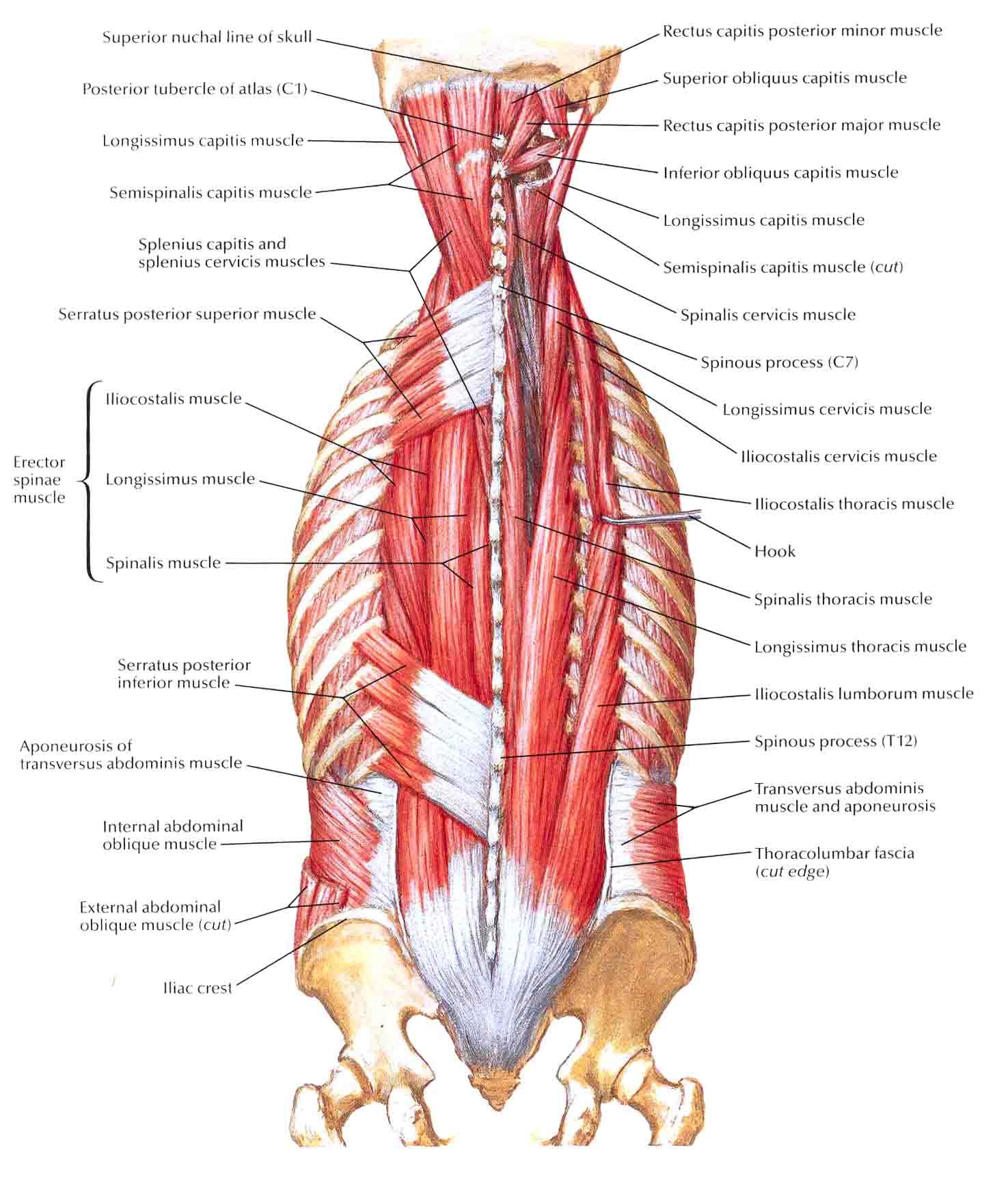 Back Anatomy Muscle Gallery - human body anatomy