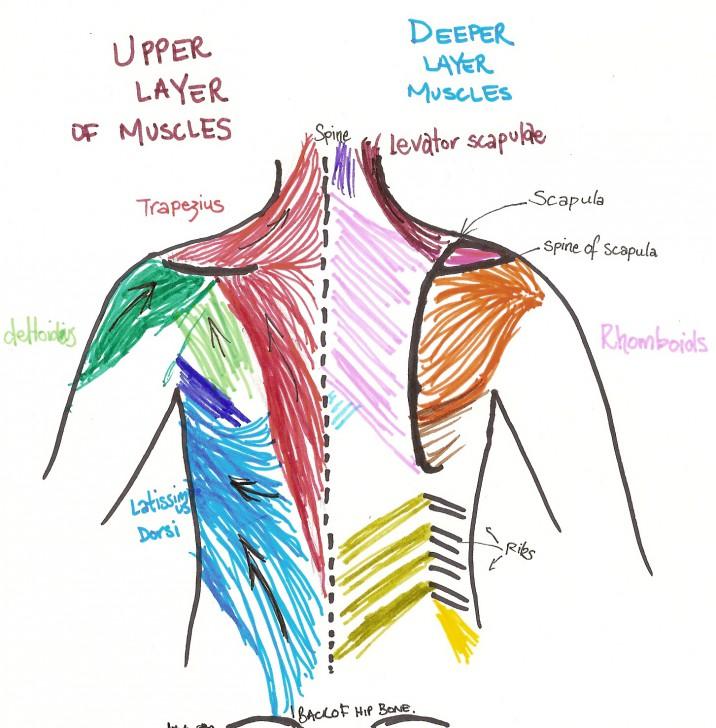 back muscles deadlift