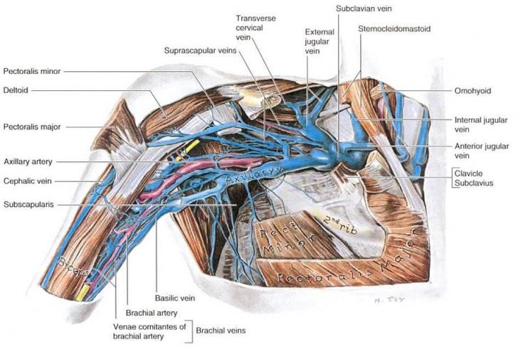 Antecubital fossa anatomy