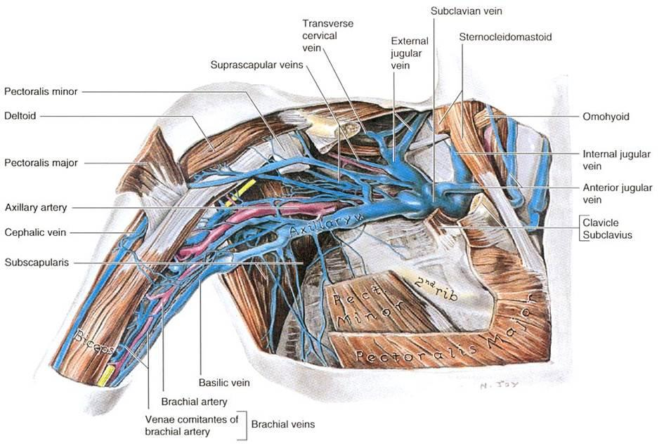 Cephalic Vein Anatomy Choice Image Human Body Anatomy