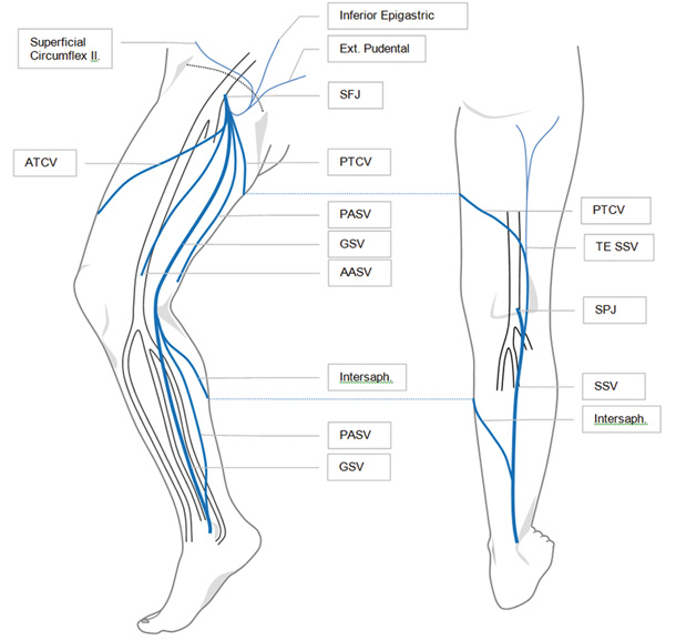 Great Saphenous Vein And Its Tributaries