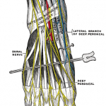 great saphenous vein branches
