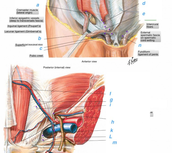 inguinal ligament cat