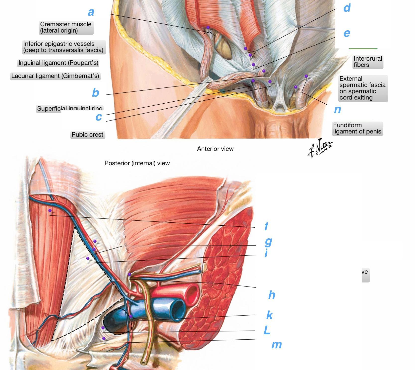 Inguinal Ligament Cat Modernheal