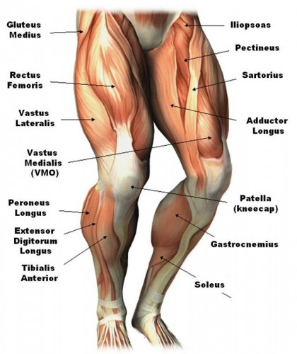 Knee muscles and tendons