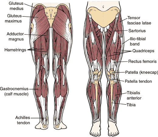 Basics of Leg Muscles